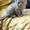 Котёнок( шотландская вислоухая) #983558