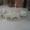 Продам  щенков среднеазиатской овчарки  #992394