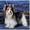 Бивер йорк щенки для дома и для выставок #1020223