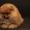 Редкие щенки померанского шпица #1066404