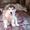 Продажа щенка Аляскинского маламута #1299462