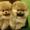 Продаются милые щенки шпицев #1480039