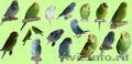 Волнистый попугай (самочка)