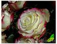Оптовые поставки  цветов с плантаций Эквадора.