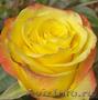 Розы оптом к 8 Марта 2014