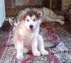 Продажа щенка Аляскинского маламута