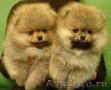 Продаются милые щенки шпицев