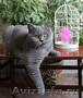 Британские котята от Фан Кейси